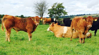 North's incentivisation scheme for the removal of BVD-infected calves to close