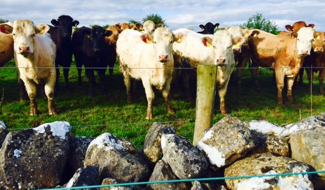 Irish heifer prices increase, as falls reported in the North and Britain