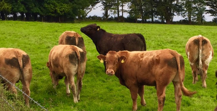 What proportion of herds in Ireland are positive for IBR?