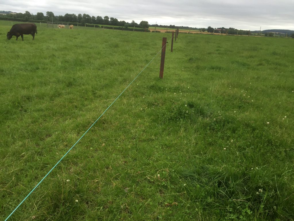 Electric fences are raised to give cows access to the grass ahead of the cows