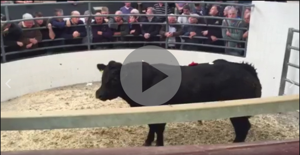 Amazing prices at Roscommon Mart's first weanling show and sale of the year