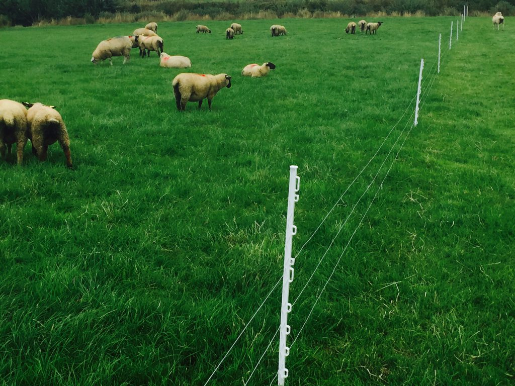 sheep grazing system