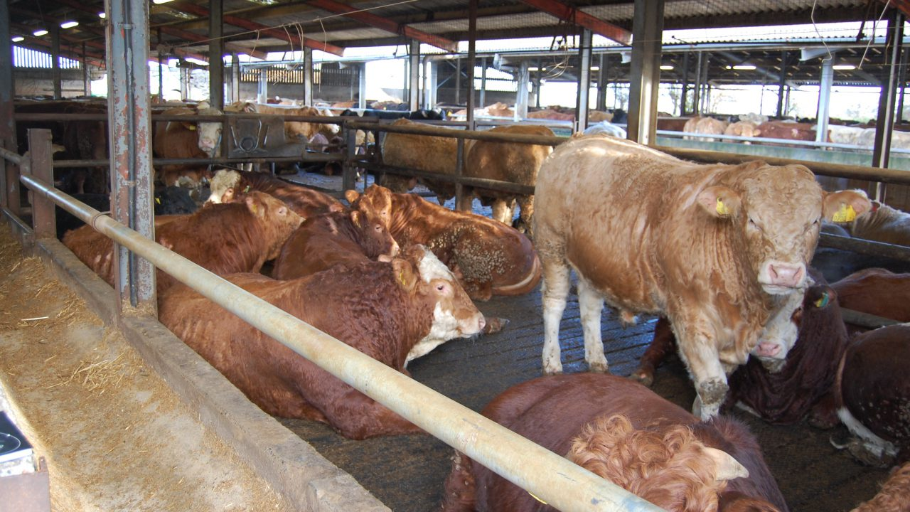 Feedlots most at fault for sending dirty cattle to slaughter