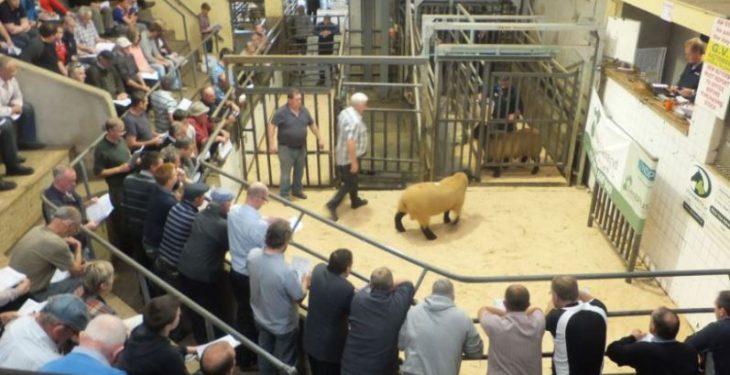 Rams sell to €980 at Sheep Ireland's elite multi-breed sale