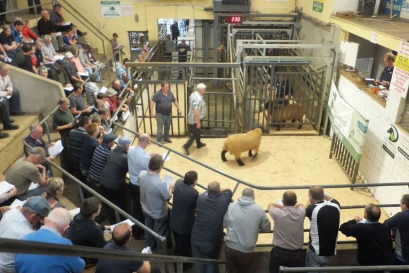 Strong line-up for Ireland's largest ram sale