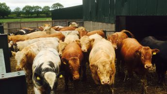 Finished Irish bulls destined for Algeria