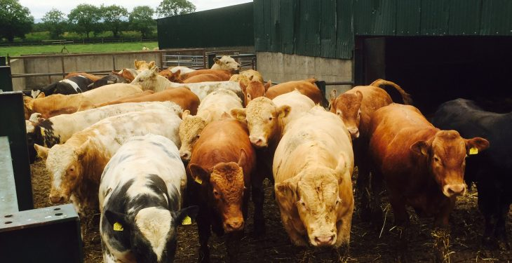 Some 2,200 Irish bulls en route to Libya