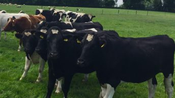 UK/Irish beef price differential rises to 60c/kg