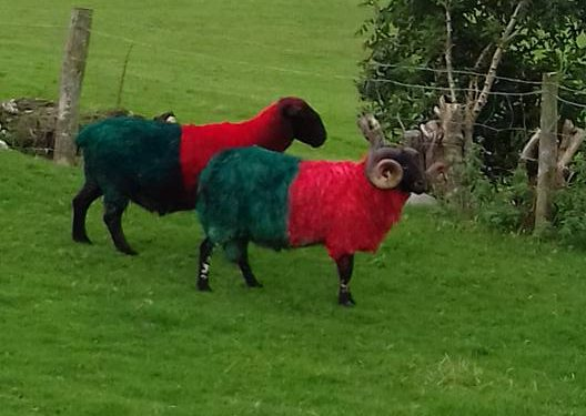 These sheep are baaa-cking Mayo to win the All-Ireland!