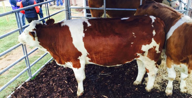Interested in Fleckvieh cattle? – Check them out at the Ploughing