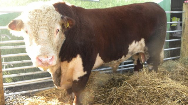 Buying a stock bull for your dairy herd this year