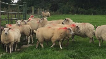 Sheep trade: Another week of price pressure for spring lambs