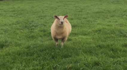 Calls for army to be brought in to deal with a dog that's killing sheep in Wexford