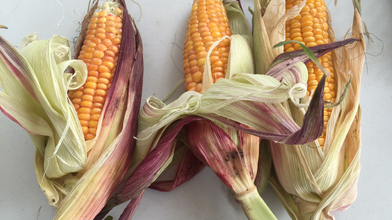 Maize yields set to increase by 20-25% after an 'extraordinary' growing season