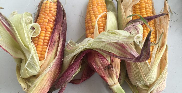 Would you choose a 'Spyci' maize variety next spring?