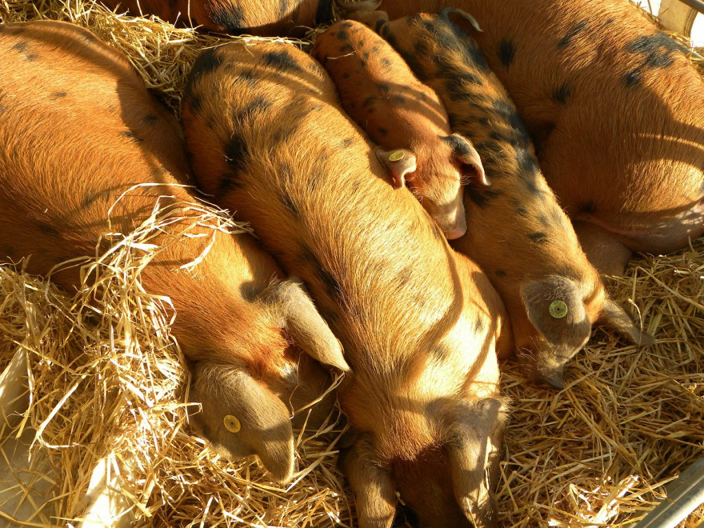 ploughing, pigs