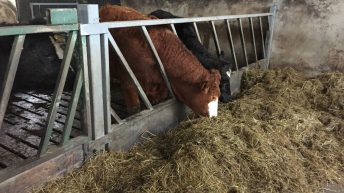 Getting winter housing right on organic beef farms