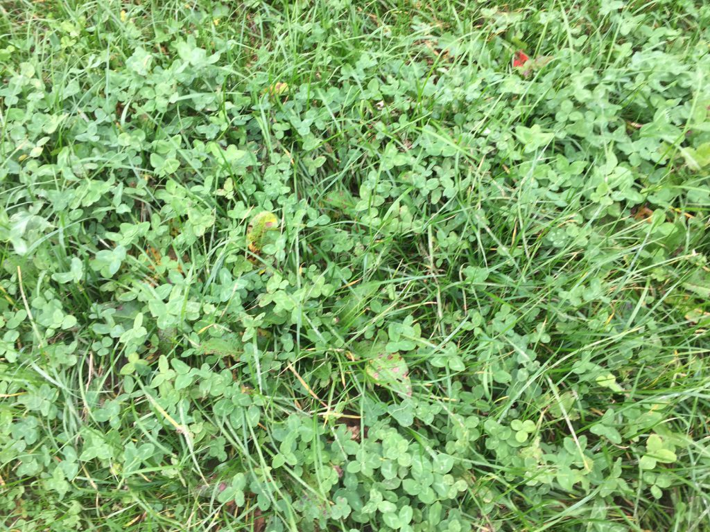 A recently sown Red clover/Perennial Ryegrass sward