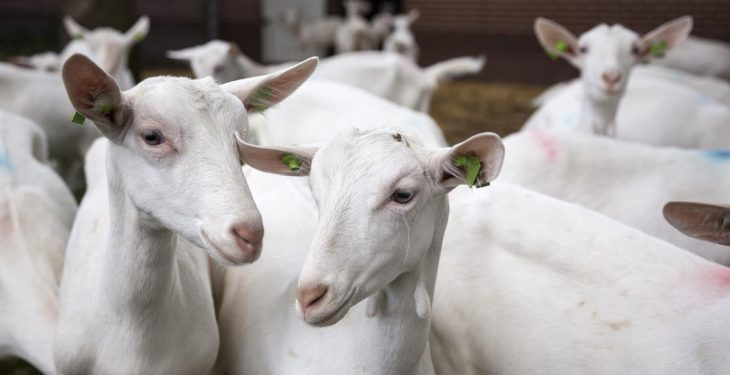 First case of CAE goat disease discovered in Northern Ireland