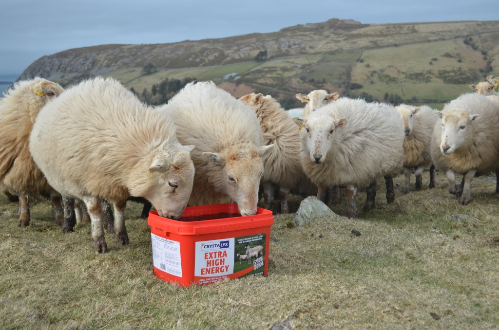 Why you should feed Crystalyx Extra High Energy to ewes mid-pregnancy
