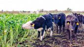 Poll results: 46% of tillage farmers to sow forage crops for livestock
