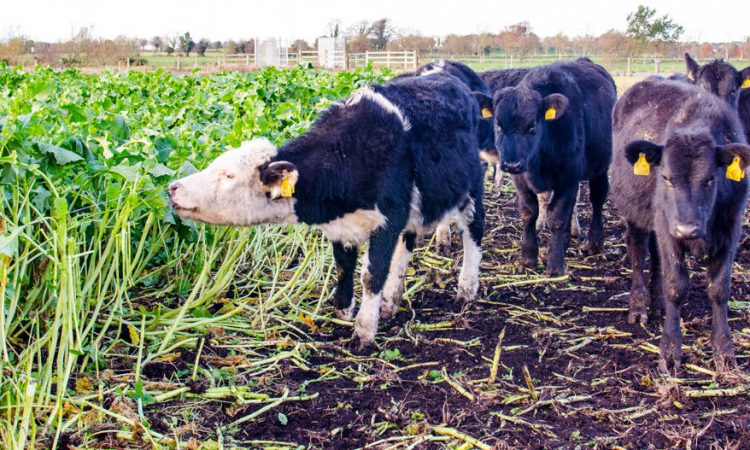 4 things to consider when grazing forage crops