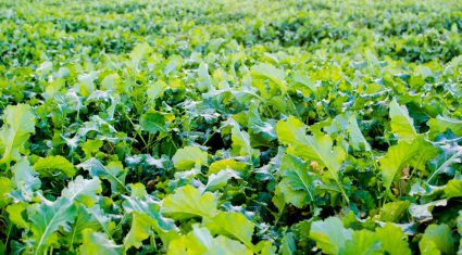 Video: 'Brassicas are a simple crop to grow and they're rocket fuel for animals'