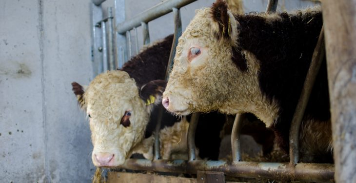 Beef finishers finding it easier to deal as factories chase Christmas supplies