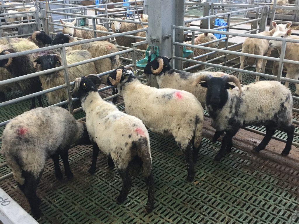 Connemara-Mayo type lambs
