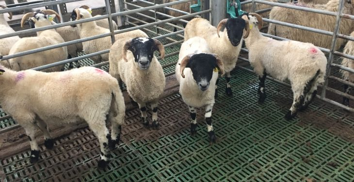 Poor summer sees a carryover of hoggets in Northern Ireland