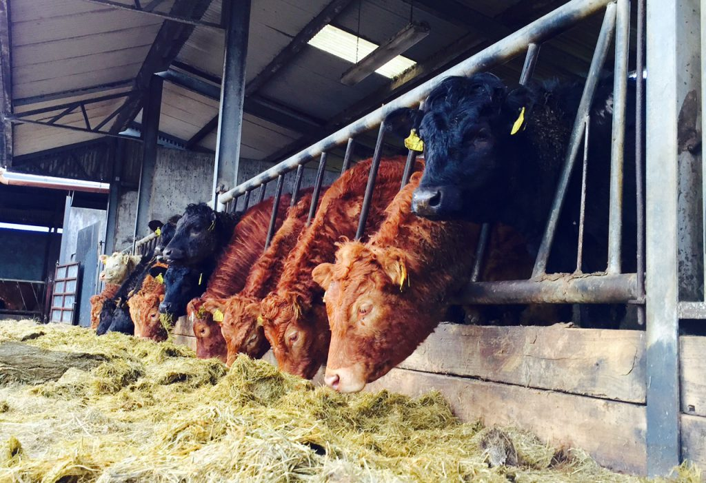 cattle-on-silage-2