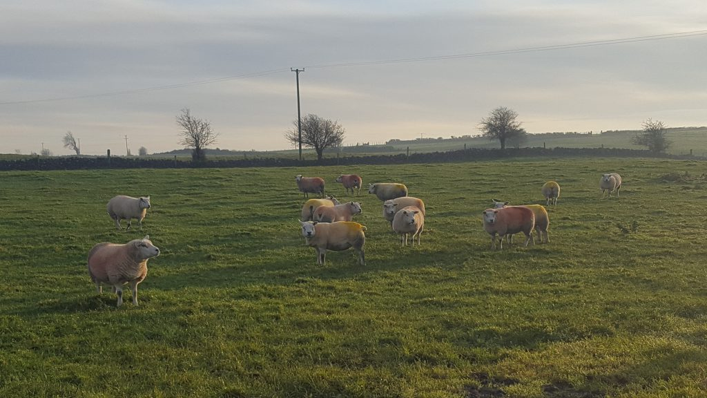 Some of the Horseleap Texel flock which have been running with the ram since