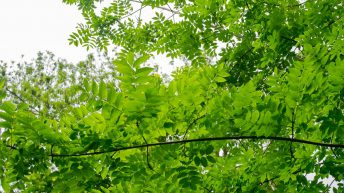 Ash Dieback being found in native hedgerows with 'no source of infection nearby'