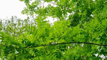 Ash dieback confirmed in several agri-environment scheme plantings