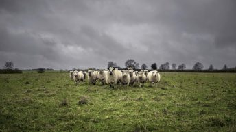 €25m Sheep Welfare Scheme application forms to issue to farmers shortly