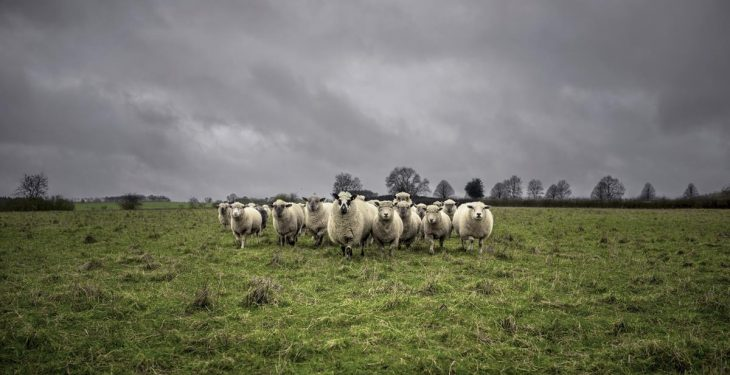 Graphic content: Four lambs killed and several injured in Co. Kildare dog attack