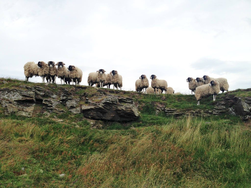 15 Swaledale in-lamb ewes stolen from Kerry mountain