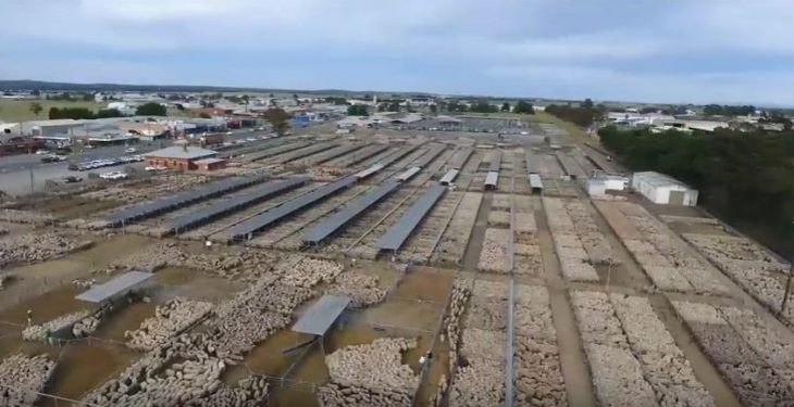 Video: Amazing footage of almost 70,000 sheep at a mart in Australia