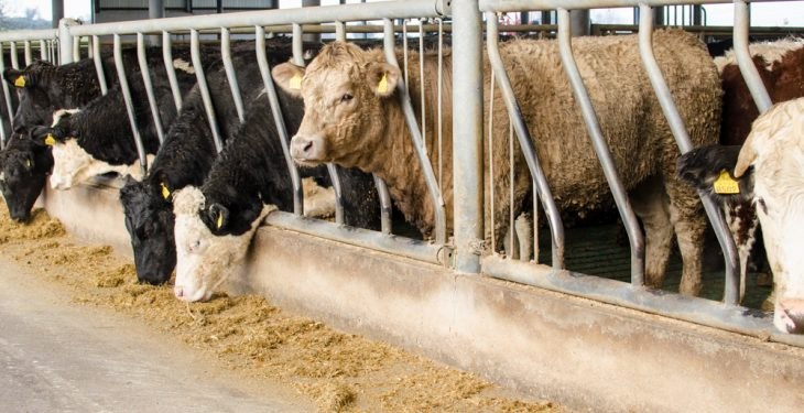 November steer prices drop to a three-year low