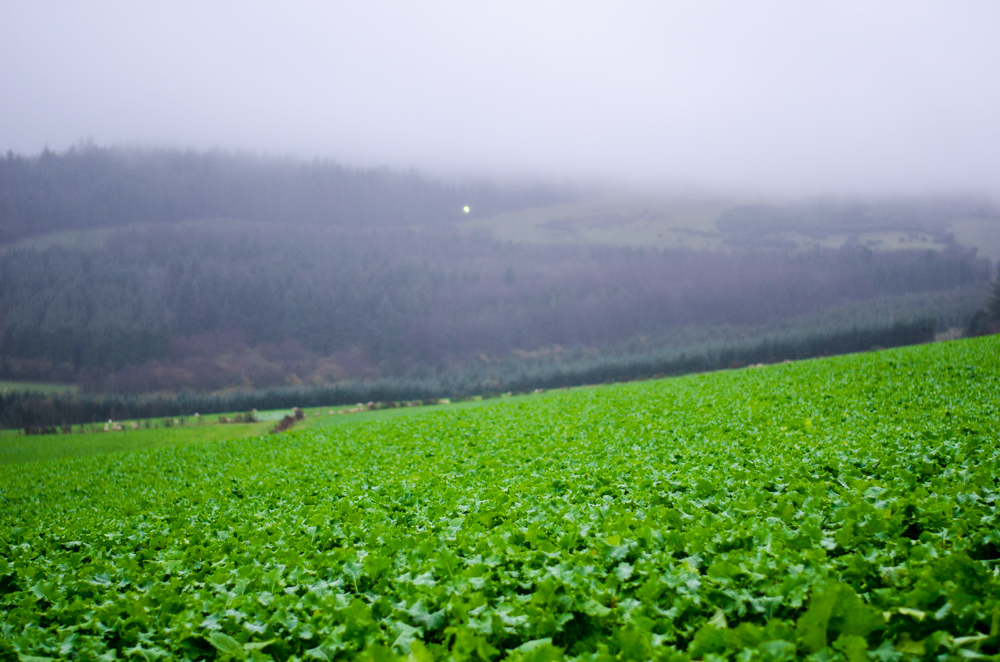 The GLAS forage crop mixture has a yield of approximately 4.5t/ha