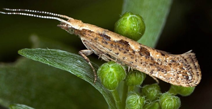 Diamondback moths take the edge off Brussels sprout yields