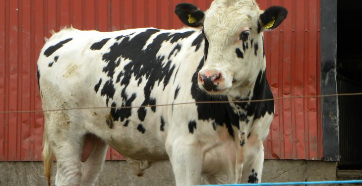 Department has no intentions to introduce a scheme to cull male dairy cattle