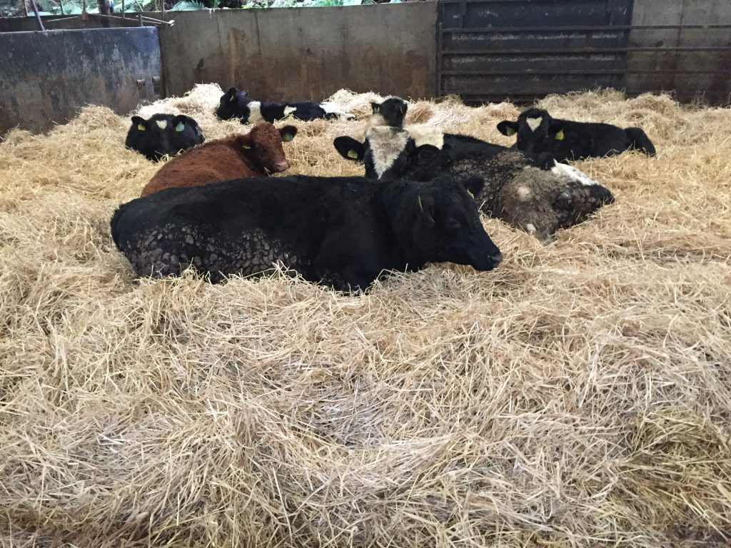 Calves which fail to sell are finished on farm