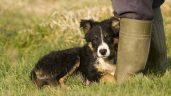 New pet rules: What they mean when buying your next sheepdog