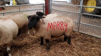 Romantic sheep farmer pulls off unique marriage proposal