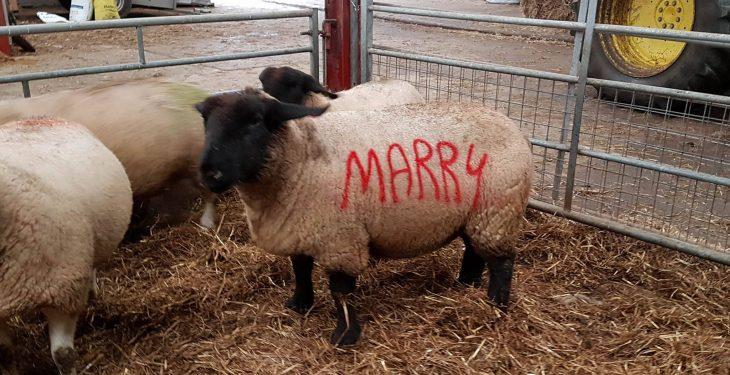Romantic sheep farmer pulls off unique marriage proposal