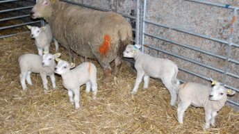 Quintuplets born to Charollais ewe on Tyrone farm