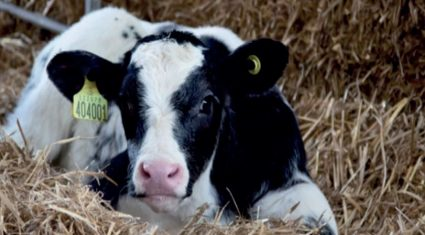 Benefits to beef production of once-a-day milk replacer feeding