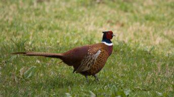 Bird flu outbreak detected in a UK flock of 10,000 pheasants