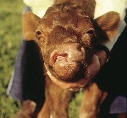 A calf born with a cleft lip and nostril Source: ICBF